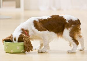 Puppy eating from food bowl. Horizontally framed shot.