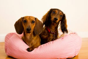 """""""Two Dachshund dogs, one short haired and one long haired, laying in a dog bed on a hardwood floor """"""""Pixie and Tinkerbell"""""""""""""""