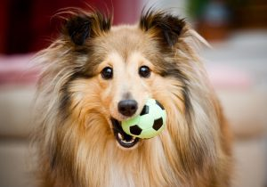 Brown sheltie playing with green ball toy