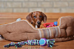 Dachshund puppy laying in dog bed surrounded by toys