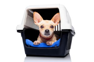 chihuahua dog inside a box or crate for animals, waiting for an owner, isolated on white background