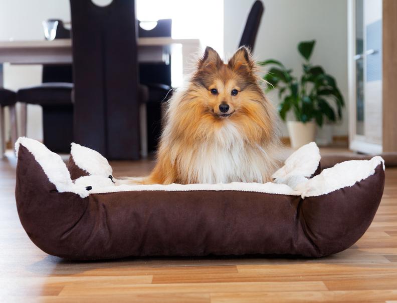 Sheltie Hund sitzt im Hundekörbchen